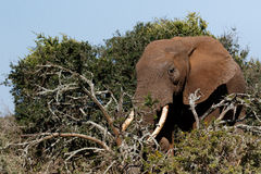 Bush Elephant with his tusks in the branches Royalty Free Stock Image