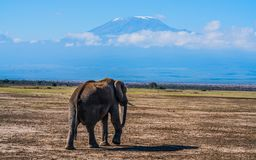 Mount Kilimanjaro forms the backdrop of this photo of african elephant. The bush elephant, is the largest living terrestrial animal, while the forest elephant is Royalty Free Stock Image