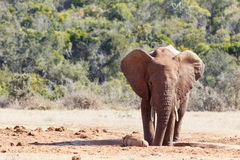 Bush Elephant staring at a nearby warthog Royalty Free Stock Photo