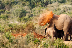 Bush Elephant throwing sand on her back royalty free stock photography