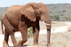 Bush Elephant walking on the dust road. Big Bush Elephant walking on the dust road Stock Photo