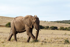 Bush Elephant walking and picking on the grass on the side Stock Image