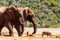 Bush Elephants chasing the warthogs Stock Photos