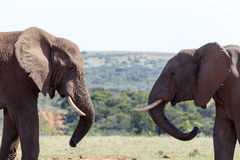 Bush Elephants standing with twisted trunks Stock Photo