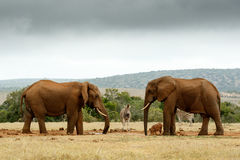 Bush Elephants staring at each other Stock Photo