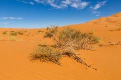 Bush en la arena, desierto del Sáhara Foto de archivo