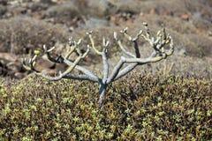 Bush of Euphorbia balsamifera Royalty Free Stock Photography