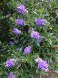 Bush för lavendelfärgfjäril blommor Fotografering för Bildbyråer