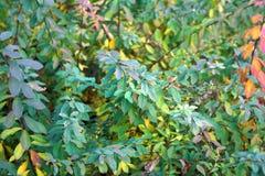 Bush förgrena sig med gräsplan till lila- och gulingsidor royaltyfri foto