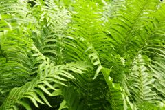 Bush of fern. As a background Stock Image
