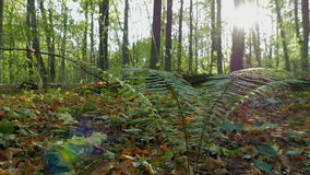 Bush of fern in the autumn forest in the rays of the setting sun. Shooting movies in 4K and downscale to Full HD. The shutter speed is 1/50. With the use of ND stock video