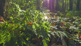 Bush of fern in the autumn forest in the rays of the setting sun. Shooting movies in 4K and downscale to Full HD. The shutter speed is 1/50. With the use of ND stock footage