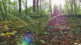 Bush of fern in the autumn forest. Shooting movies in 4K and downscale to Full HD. The shutter speed is 1/50. With the use of ND-filter. Without color stock footage