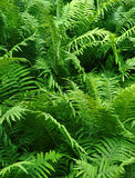 Bush of fern Stock Image