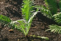 Bush fern grows on black earth Royalty Free Stock Photos