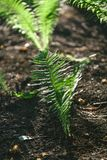 Bush fern grows on black earth Stock Photography