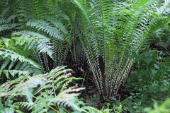 Bush of fern Pteridium Royalty Free Stock Images