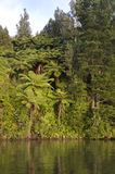 Bush ferns on the lakes edge. Punga ferns at the lakes edge on lake rotoiti new zealand Royalty Free Stock Photos