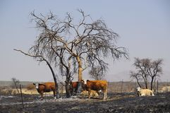 Bush fire. After a bush fire in the farm land of Namibia Stock Photos