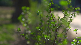 Bush with the first spring leaves. The first spring gentle leaves, buds and branches macro background stock footage