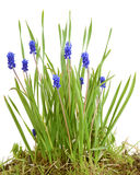 Bush fleurit le bleu de Muscari Photo stock
