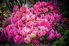 Bush floral cor-de-rosa Imagem de Stock Royalty Free