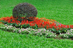 Bush and flower cluster in garden. Bush crown cutted into ball shape and red and white flower cluster in garden Royalty Free Stock Photography