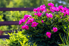 Bush, flowers in the garden. High quality close up photo of a peony flower bush in the garden & x28;you may see some wooden fence and vegetation at the Royalty Free Stock Image