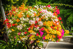 Bush flowers. Multicolored Flowers Shrub Summer Beauty Bela Red Orange Pink Lilac Royalty Free Stock Image