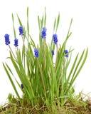 Bush flowers Muscari blue Stock Photo