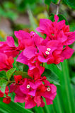 A bush with flowers Pink blooming bougainvilleas Stock Photo