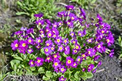 Bush flowers Primrose Burgundy color in the flowerbed. Blurred. The photo was taken on a soft lens. Background.  royalty free stock photos