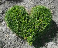 Bush in the form of heart. Smal bush in the form of heart. Green heart on earth Royalty Free Stock Photo