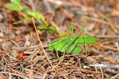 Bush Forquilha-atado Katydid (furcata de Scudderia) Fotografia de Stock Royalty Free