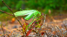 Bush Forquilha-atado Katydid (furcata de Scudderia) video estoque
