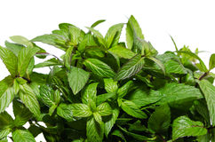 Bush fragrant peppermint isolated on white background Royalty Free Stock Image