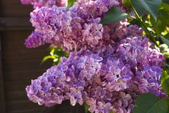 Bush fragrant purple lilac Stock Image