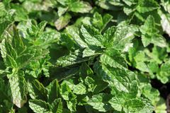 Fresh Mint in Herb Garden Royalty Free Stock Image