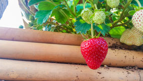 Bush of fresh red strawberry in garden Stock Photography