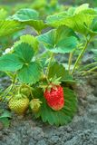 Bush of fresh ripe and unripe strawberry royalty free stock photos