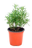 Bush of fresh rosemary in plant pot, isolated on white Stock Photo