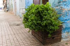 A bush of fresh, sweet mint on a wooden box. stock photo
