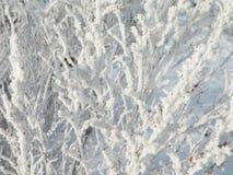 bush frosten зима стоковое фото