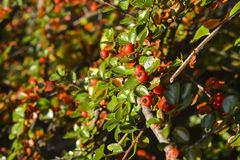 Bush fruit. And red and yellow ripe juicy fruit on the bush in autumn stock images