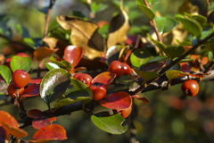 Bush fruit. And red and yellow ripe juicy fruit on the bush in autumn royalty free stock photography