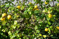 Bush with fruits of a quince Japanese (Chaenomeles japonica (Thu Royalty Free Stock Photography