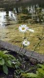 Bush-Gänseblümchen, überwucherter Teich, Park, Sommer, Blumenbeet, Stockbild