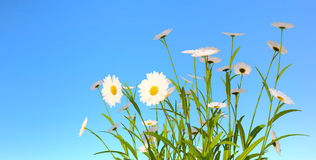 Bush of garden camomiles against the background of the sky. White daisies on blue sky background Royalty Free Stock Photos