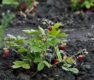 Bush-garder Erdbeere im Bett stockbild