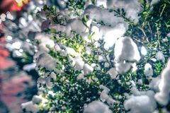 Bush Glows Brightly On Snow Covered Foggy Christmas evening. Bush Glows Brightly On Snow Covered  Foggy Christmas evening Stock Images